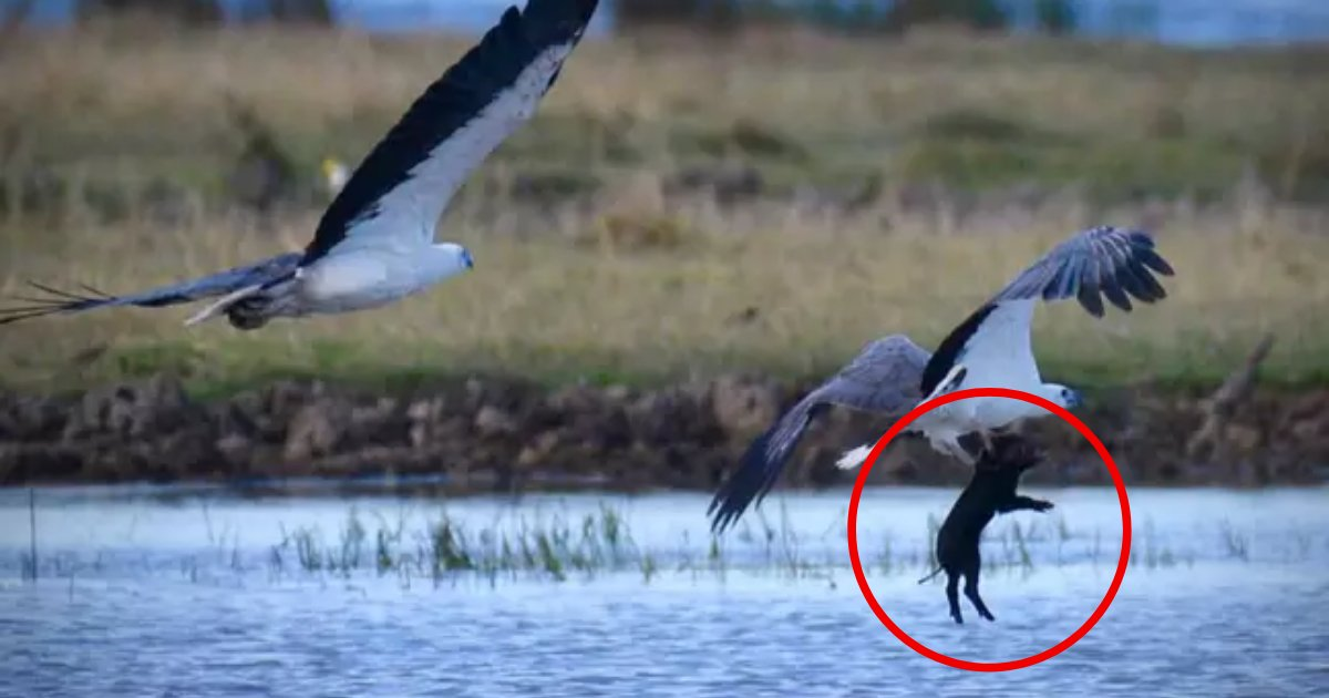 pig5.png?resize=412,232 - Photographer Captured Astonishing Moment An Eagle Flies Off With An Unfortunate Pig