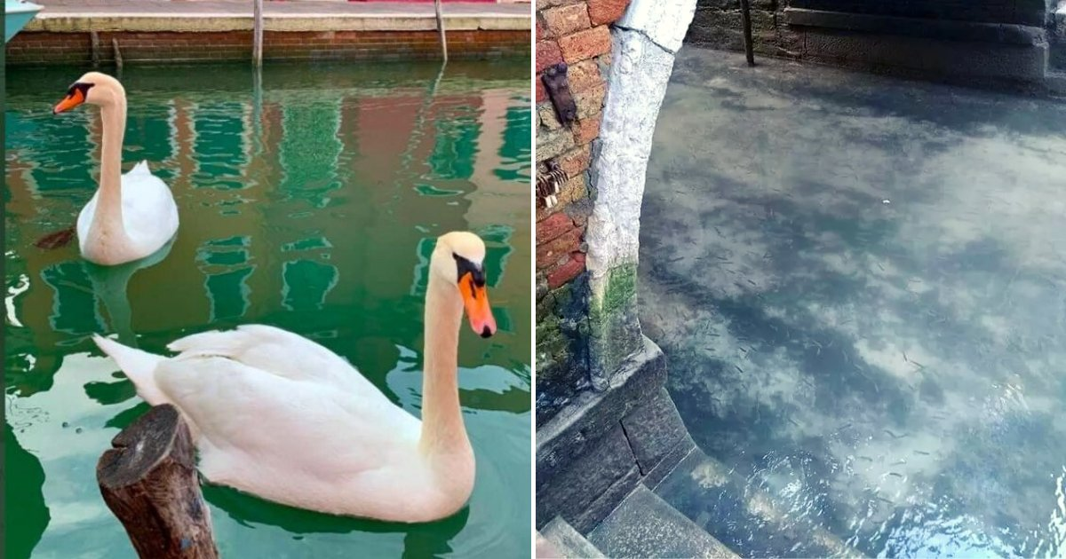 venice6.png?resize=300,169 - Fish And Swans Return To Venice's Canals As Water Becomes Clearer During Coronavirus Lockdown