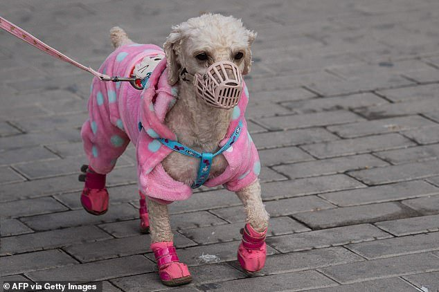 Apart from dogs, the new legislation also bars snake, frog and turtle meat from the dinner table. Pictured above, a pet dog wearing a muzzle walks on a street of Beijing on March 22