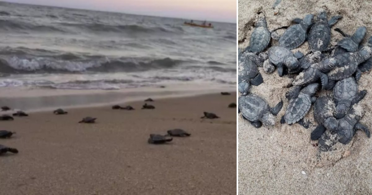 2 10.png?resize=1200,630 - Amidst COVID-19 Lockdown Endangered Hawksbill Turtles Hatch on Brazil's Desserted Beach