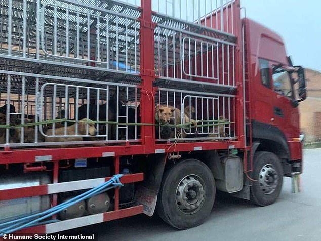 This picture provided byHumane Society International shows dogs being transported by a lorry on April 3 after being rescued from anunderground abattoir in central China this month