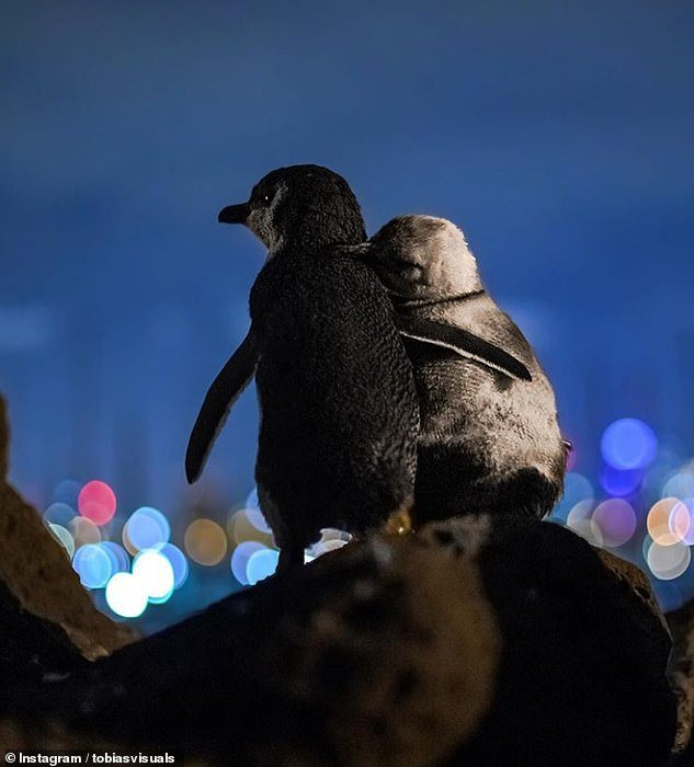 Tobias Baumgaertner explained he spent three nights with a Fairy Penguins colony in Melbourne to capture the pictures of two penguins hugging at night, watching over the city