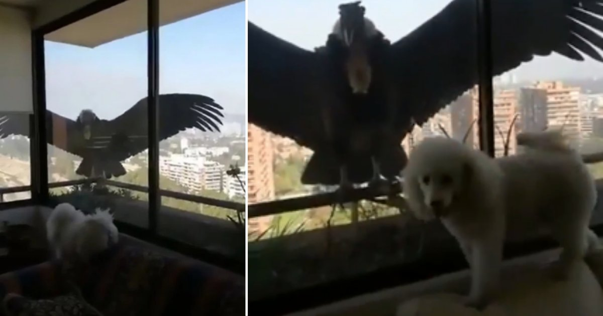 3 70.png?resize=412,275 - Huge Prey Birds Tried to Get Through The Window in Chile to Reach To a Puppy
