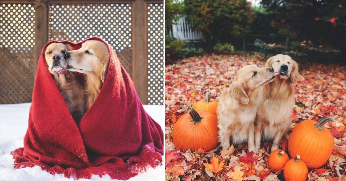 4 22.png?resize=1200,630 - Family Decided To Adopt Another Golden Retriever To Let Their Girl Have A Best Friend