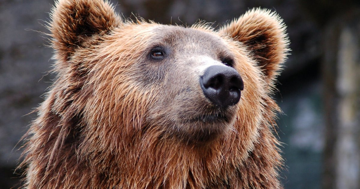 bears.png?resize=1200,630 - China Approved Treating COVID-19 Patients With Injections Made From Bear Bile