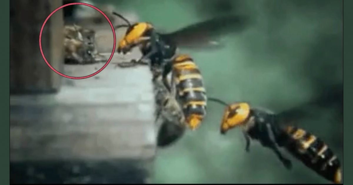 "bedb27ac 0343 4084 ba44 6ece387fa6da e1587614914189.jpeg?resize=1200,630 - ""부상'벌' 끌어당기는 모습 너무 슬프다..""…꿀벌이 말벌을 무찌르는 '가슴아픈' 유일한 방법(영상)"
