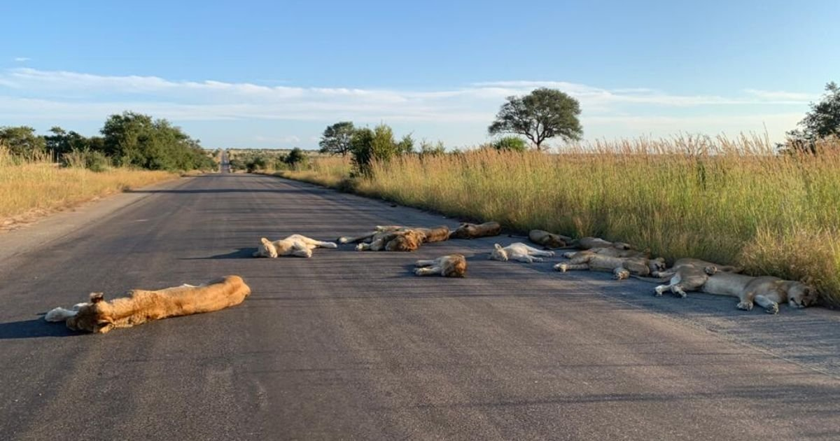 cover 7.jpg?resize=1200,630 - South Africa: Lions Are Enjoying Peace And Quiet While In Lockdown