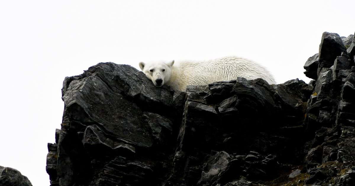 ec8db8eb84ac eba788eca780eba789.jpg?resize=412,232 - Zoo May Let Polar Bears Devour Its Seals If Matters Worsen