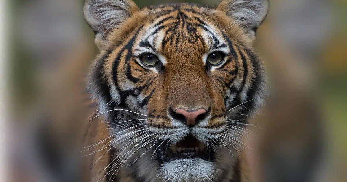 gsgsgsg.jpg?resize=412,232 - Breaking: Tiger Named Nadia Tests Positive For Coronavirus In New York City