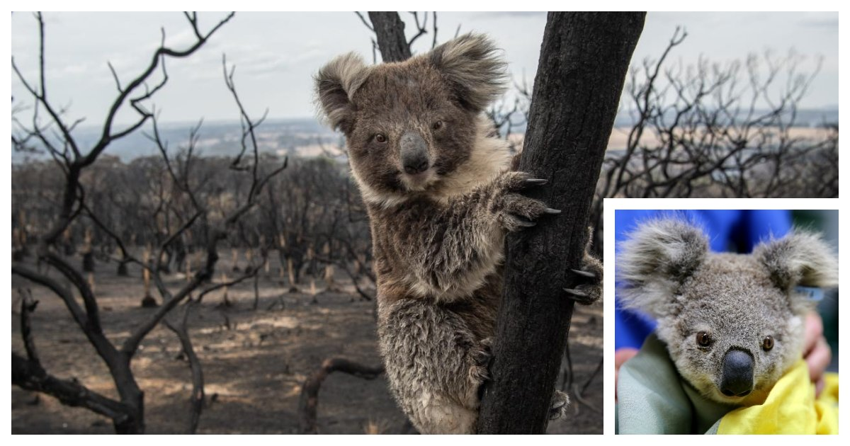 koala cover.jpg?resize=1200,630 - Koalas Could Face Extinction After the Devastating Bushfire
