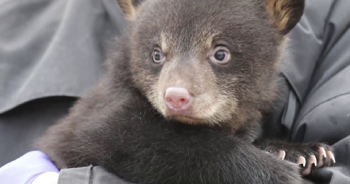 ours 1.jpg?resize=412,232 - Carnet Rose: deux ours noirs sont nés dans un parc animalier de Moselle