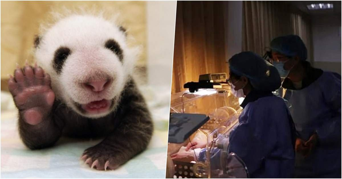 thumbnails 11.jpg?resize=1200,630 - Unique Baby Panda Twins Born During The Coronavirus Pandemic Named 'Safe' And 'Sound'