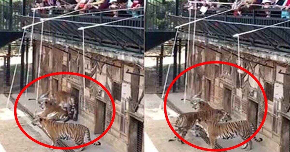 tora.png?resize=412,232 - 新型コロナウイルスの感染拡大の一方で動物園開園?トラを釣るアトラクションに「動物虐待だ」と批判殺到