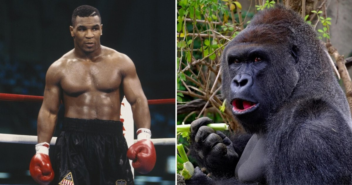 untitled design 12 2.png?resize=412,232 - Mike Tyson Admitted He Once Offered $10,000 To Zookeeper To Let Him Fight A Large Gorilla