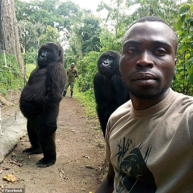 Just days before the attack ranger Mathieu Shamavu had posed for a photo with two of the gorillas standing with remarkably upright postures. It is not clear whether Mr Shamavu was killed in the attack.