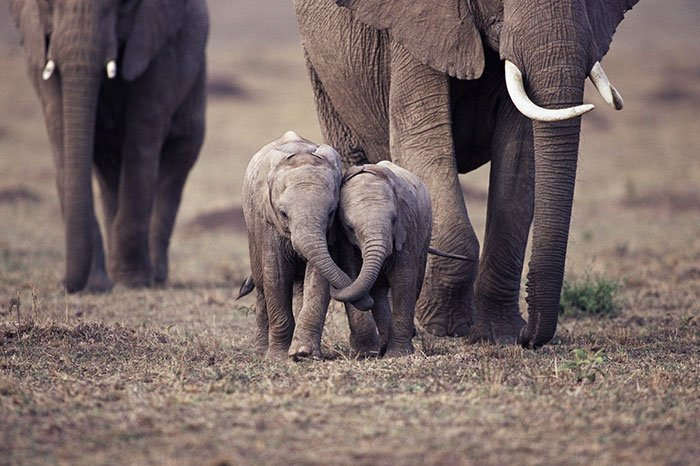 do elephants think humans are cute