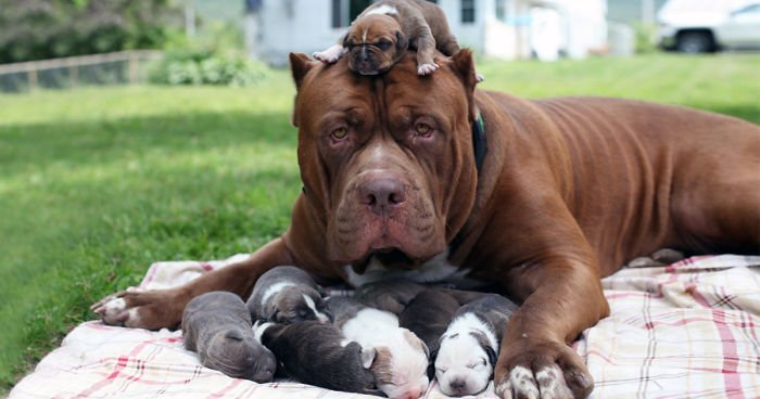 the biggest pit bull in the world