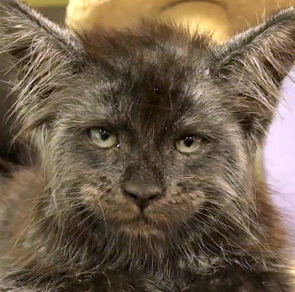 human face cat