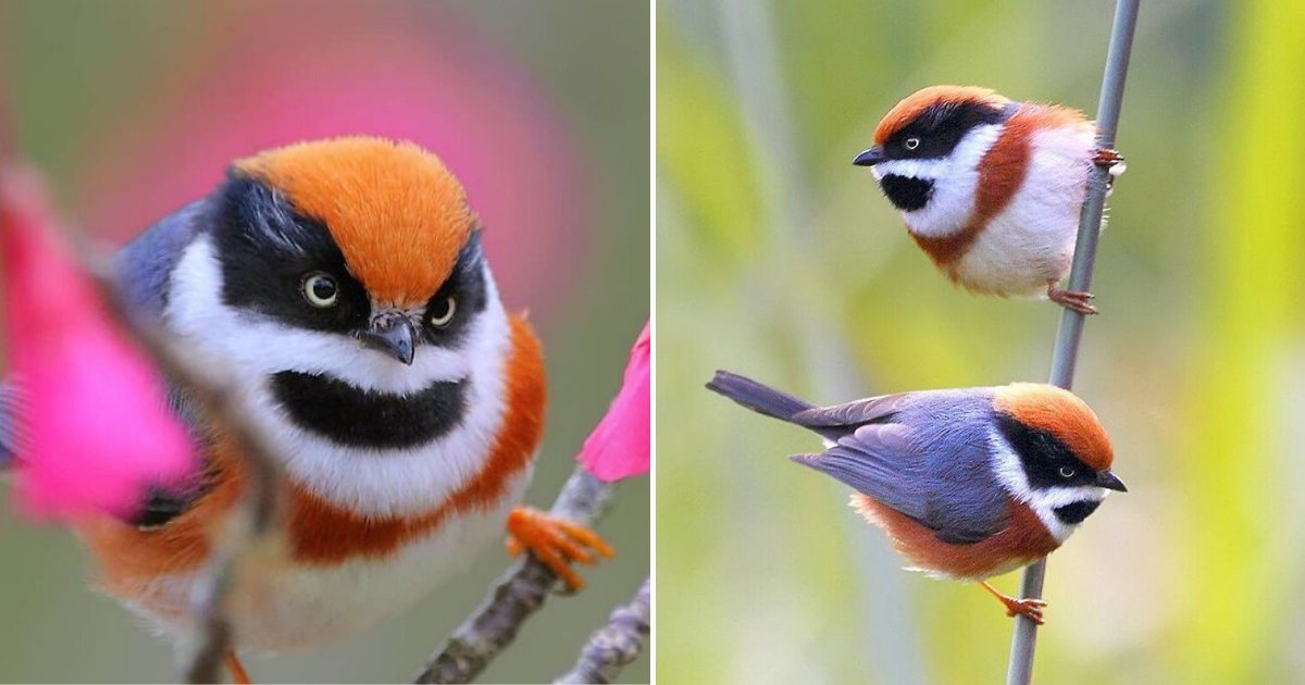 birds6.png?resize=1200,630 - These Fluffy And Colorful Birds Are Called The Black-Throated Bushtit