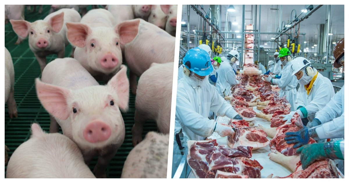 collage 28.jpg?resize=412,275 - Up to 10 Million Pigs May Be Euthanized in the US As Pork Processing Plants Close Due to Covid-19