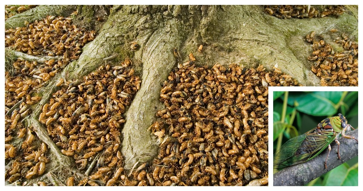 collage 57.jpg?resize=1200,630 - Up To 1.5 Million Cicadas Will Hatch At the Same Time in Eastern United States