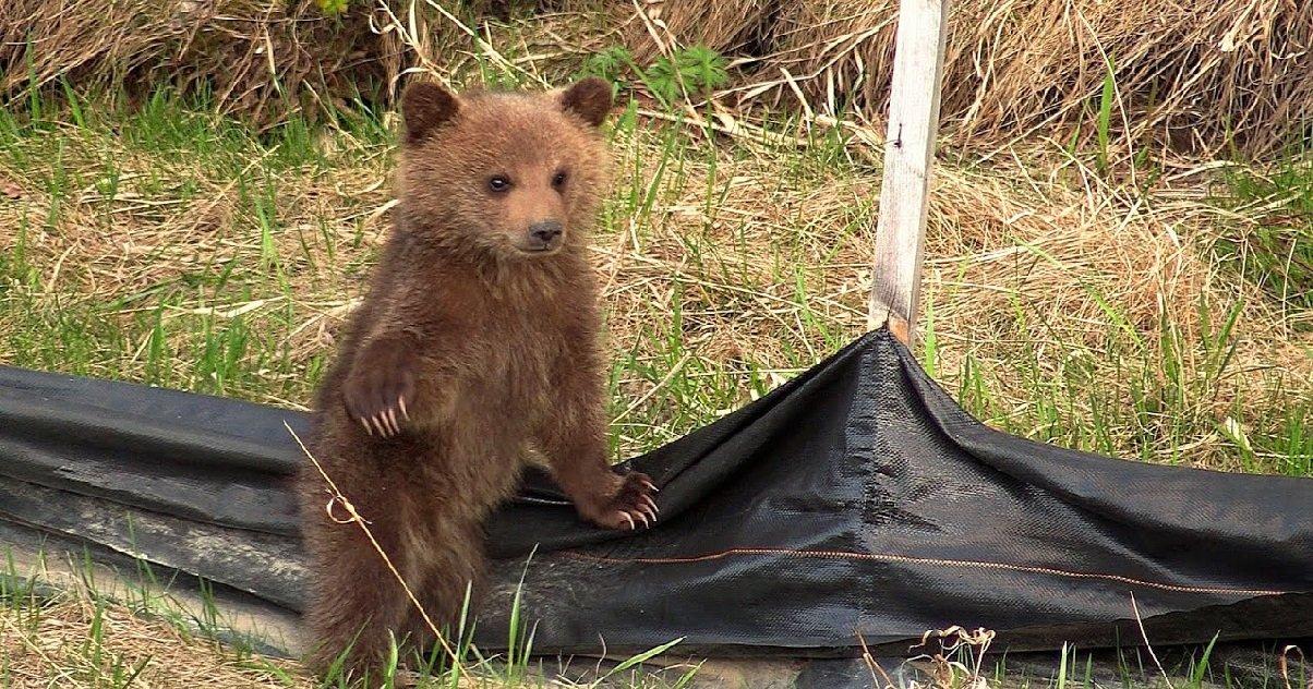 cub.jpg?resize=300,169 - L'image du jour: Des oursons ont été aperçus avec leur mère dans les Pyrénées