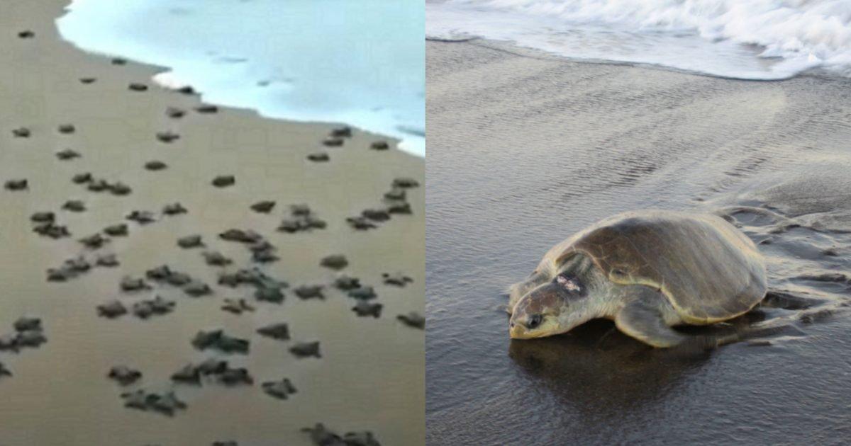 """image from ios 34 e1589463322840.jpg?resize=412,232 - """"자연 살리는 코로나"""", 바닷가에 사람 없자 '멸종위기' 거북이 2천만 마리 부화"""