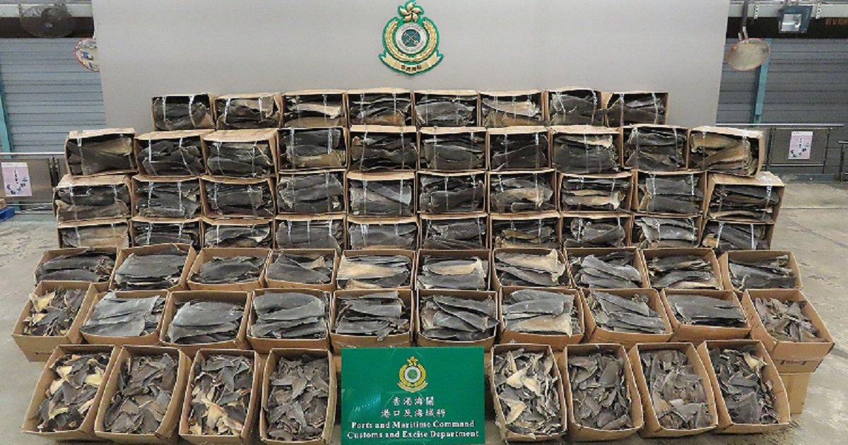 s3 2.jpg?resize=1200,630 - Hong Kong Customs Scored Biggest Bust In The Region Seizing Fins From 38,500 Endangered Sharks