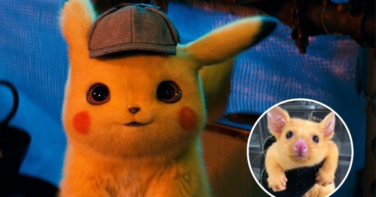 untitled design 3 11.jpg?resize=1200,630 - Vets Shared Photos Of A Rare Golden Possum That Looks Like Pokémon Pikachu