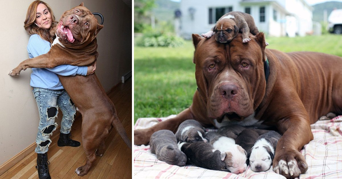 worlds biggest pitbull.jpg?resize=1200,630 - The Biggest Pitbull In The World Is Also The Richest, Worth $0.5 Million