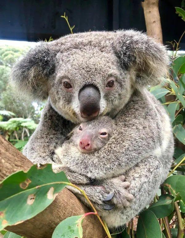 Australian Reptile Park Koala Joey Ash 2