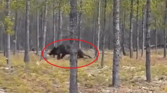 huge wolf
