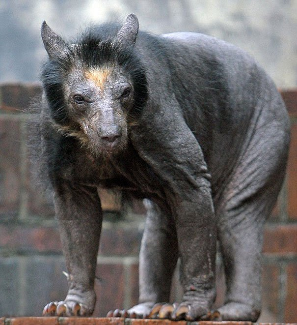 bear without fur