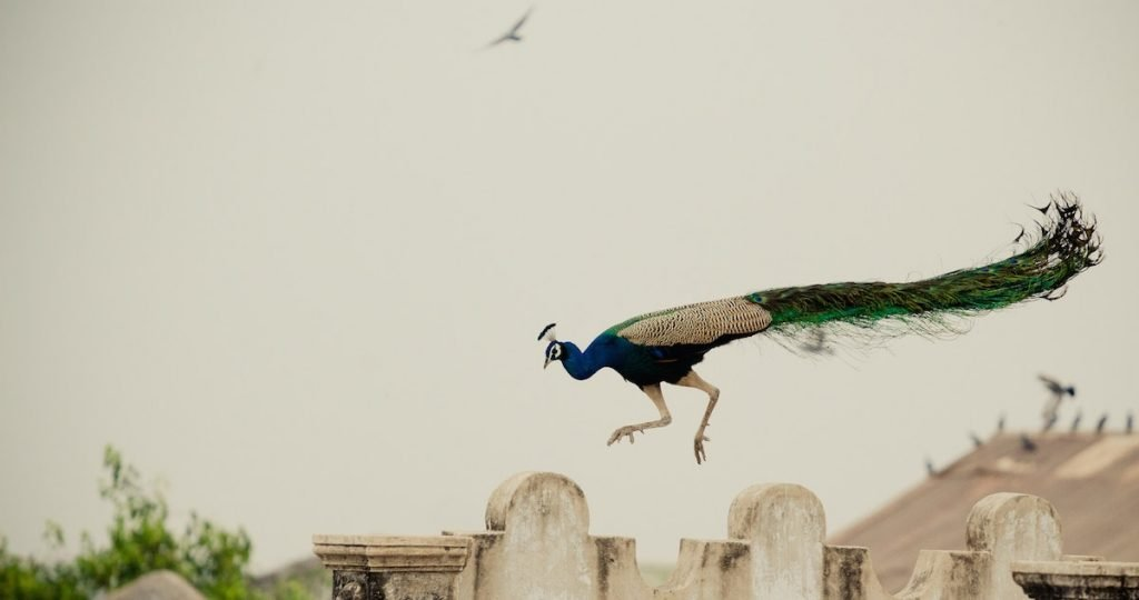 how come peacocks can fly?