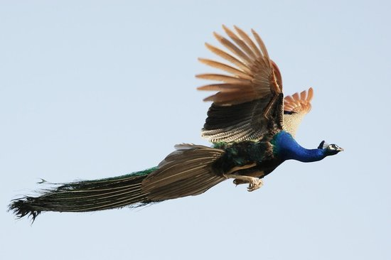 do a lot of people know that can peacocks fly?