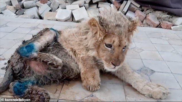 Rescuers discovered the cub with mangled legs at distorted angles and covered in dirt