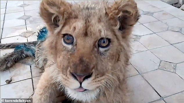 The cub pokes its tongue out in a picture taken by his rescuers prior to having life-saving surgery