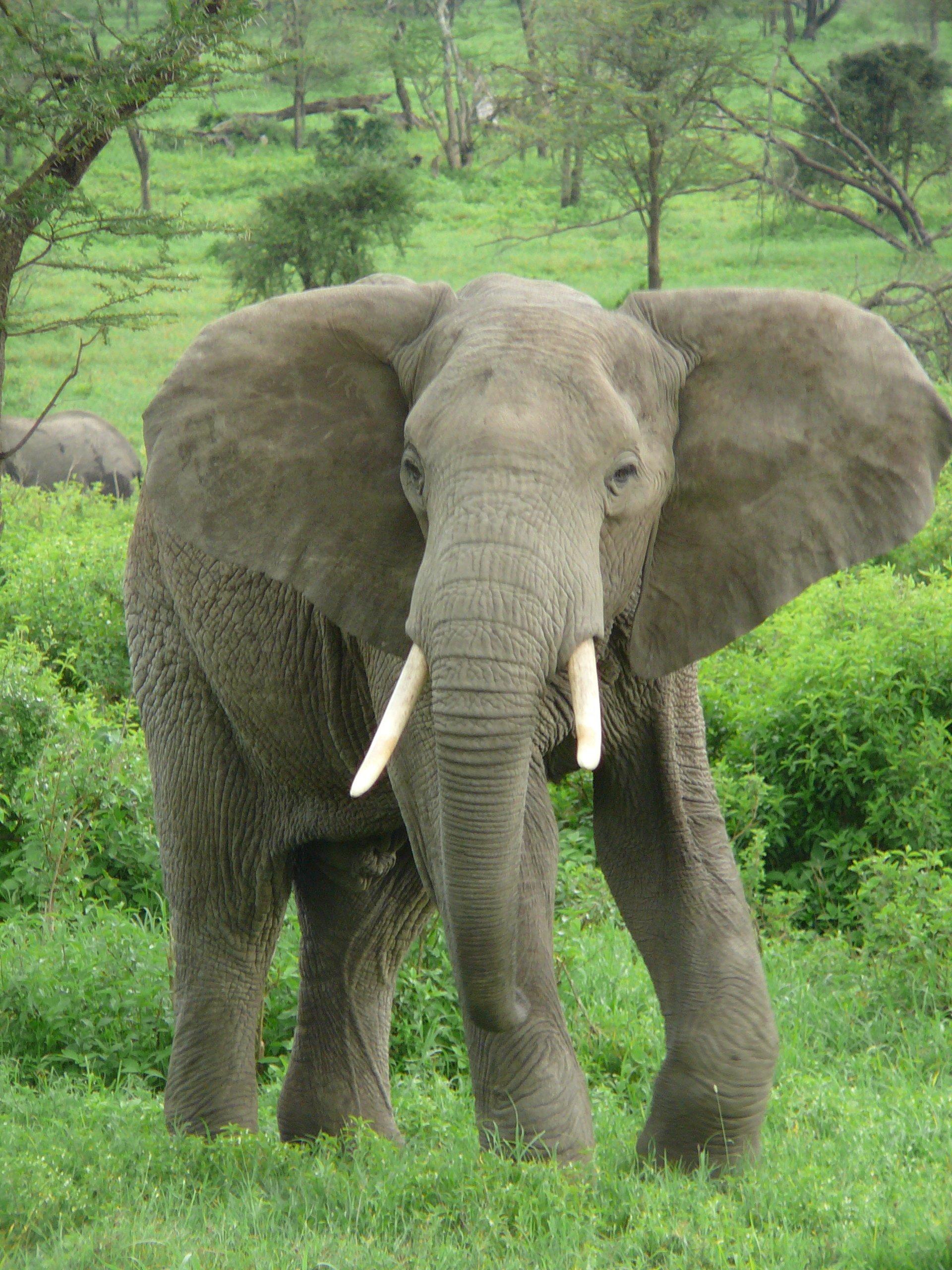 코끼리 - 위키백과, 우리 모두의 백과사전