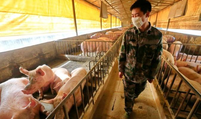 Alertan de una nueva cepa de la gripe porcina que podría ...