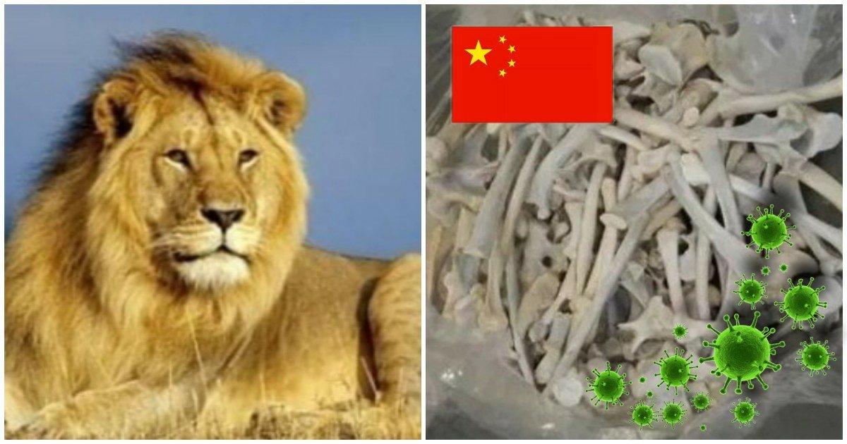 5 35.jpg?resize=1200,630 - 중국인들의 '사자 뼈' 불법거래로 중국에 돌고있는 새로운 질병의 '충격적인' 증상들