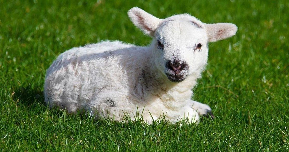 agneau paques eleveurs e1593024797352.jpg?resize=1200,630 - Maltraitance des agneaux : Après la diffusion de la vidéo de L214, l'abattoir aveyronnais a été suspendu