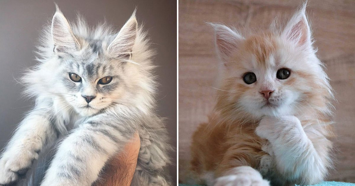 cats17.png?resize=412,232 - 15+ Adorable Maine Coon Kittens That Will Grow Into Giant Cats