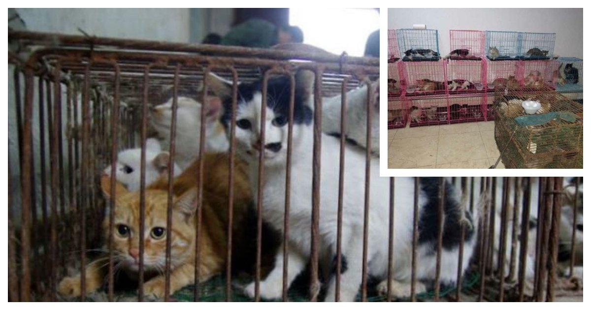 collage 36.jpg?resize=1200,630 - Local Activists Rescue 700 Cats Trafficked for Their Meat in Northern China
