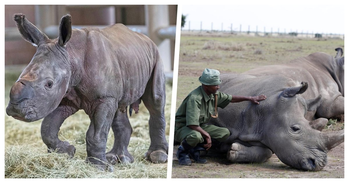 collage 68.jpg?resize=412,232 - Souther White Rhinos Continue to Struggle For Survival Although Their Population Rose by 340 Times