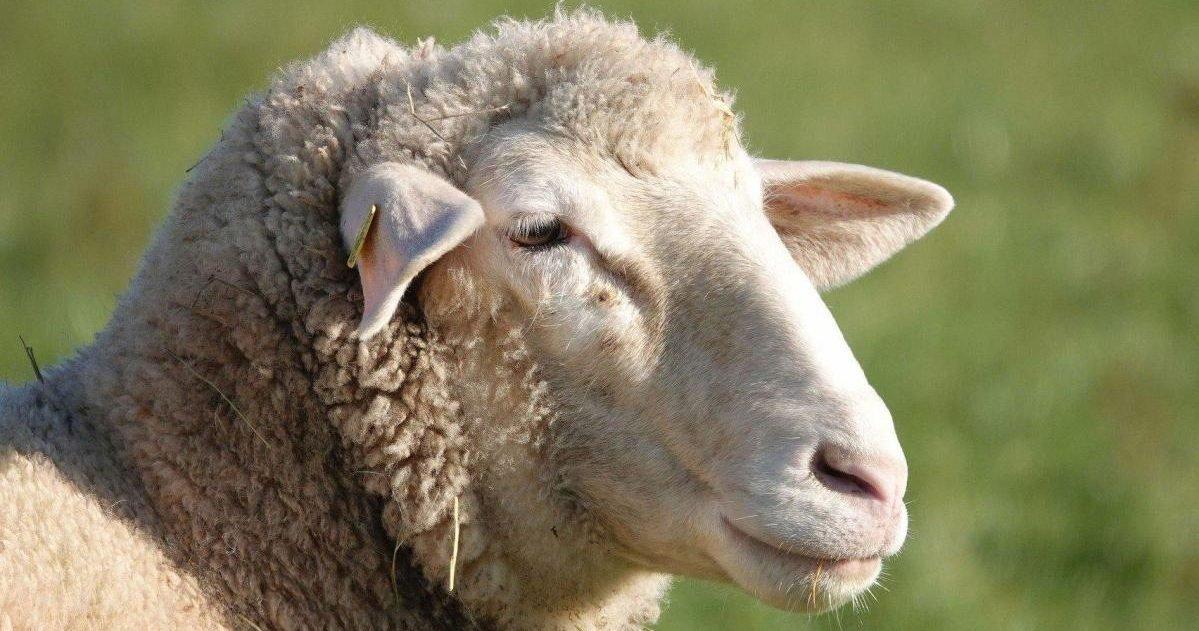 courrier picard 1 e1592495073632.jpg?resize=1200,630 - Des lycéens ont été interpellés après avoir battu des moutons à mort