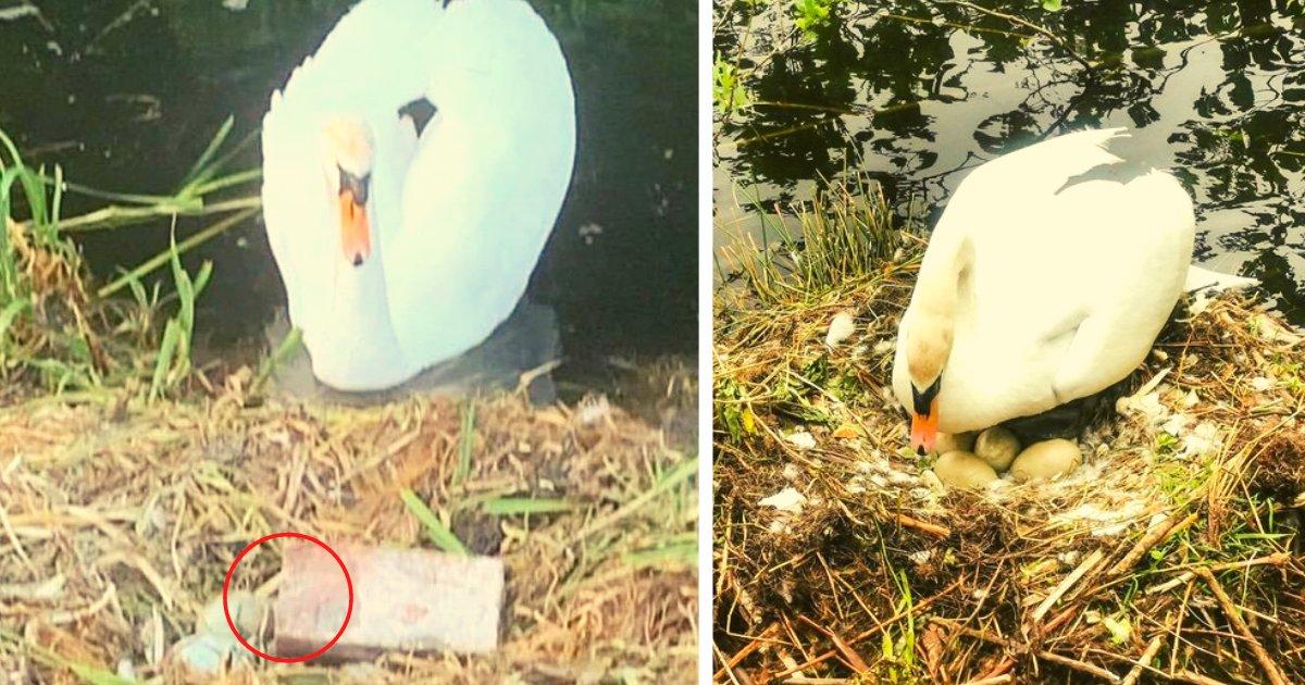diseno sin titulo 115.png?resize=1200,630 - Jóvenes Lanzan Un Ladrillo Contra Una Madre Cisne Y Destruyen Sus Huevos A Punto De Nacer