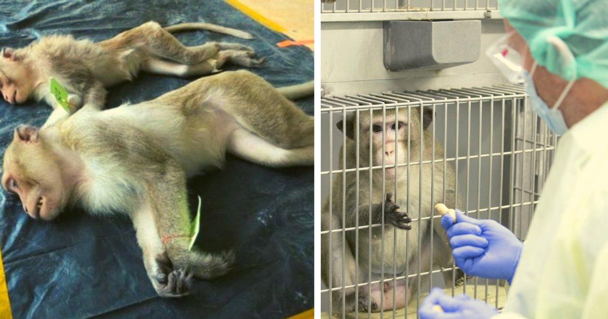 diseno sin titulo 128.png?resize=1200,630 - Científicos Infectaron A Cientos De Monos Con Covid-19 Como Experimento Para Encontrar La Vacuna