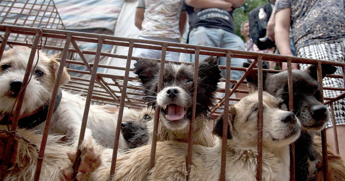 dog meat.jpg?resize=1200,630 - China's Annual Dog-meat Festival Opens Despite New Pushes From The Government