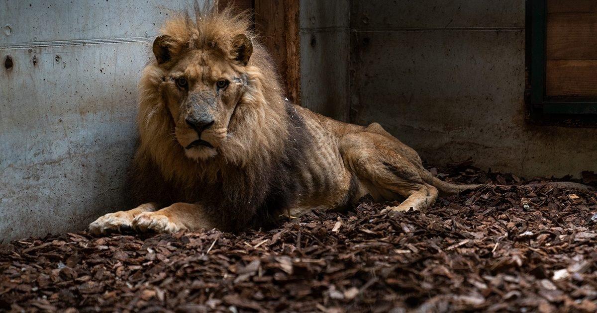 large 42a7b705 e1591891553203.jpg?resize=1200,630 - Dents coupées et griffes arrachées : Un lion a été sauvé d'un cirque dans L'Eure
