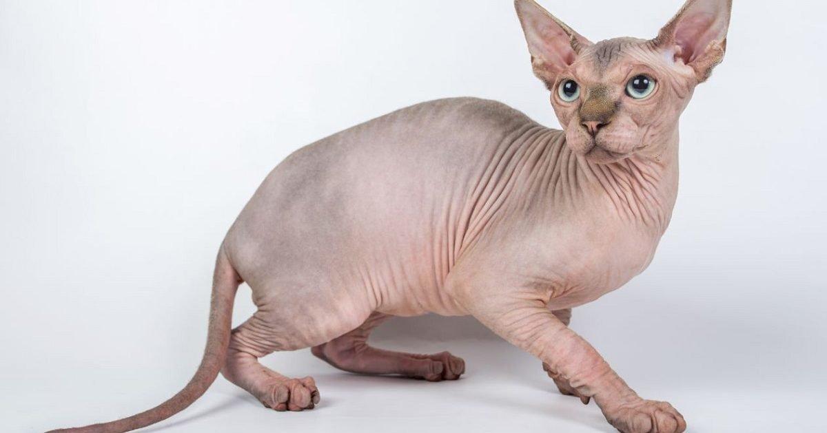 ohmymag 1 e1593452969814.jpg?resize=412,232 - 10 Photos de Sphynx : Ce chat venu de l'espace ou des entrailles de la Terre